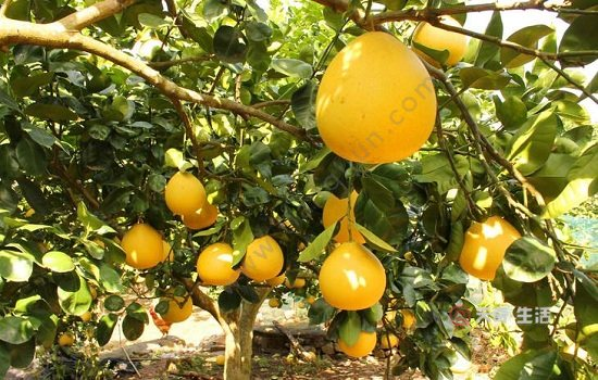 温州特色水果