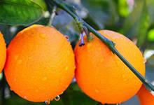 江门有哪些特色水果 广东江门特产