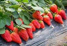 上海有哪些特色水果 上海特产