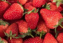 北京昌平草莓的主要品种有哪些 昌平草莓的品种